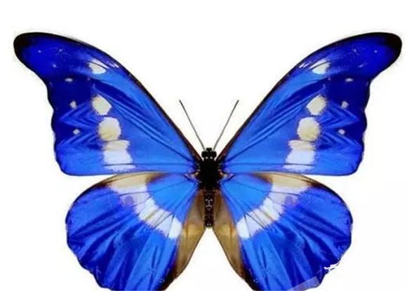 有被誉为世界上最美蝴蝶的光明女神闪蝶 万灵山旅游开发有限公司供图.png