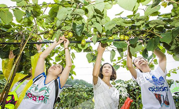 市民在南川区采摘猕猴桃。 市农委供图 华龙网发.jpg