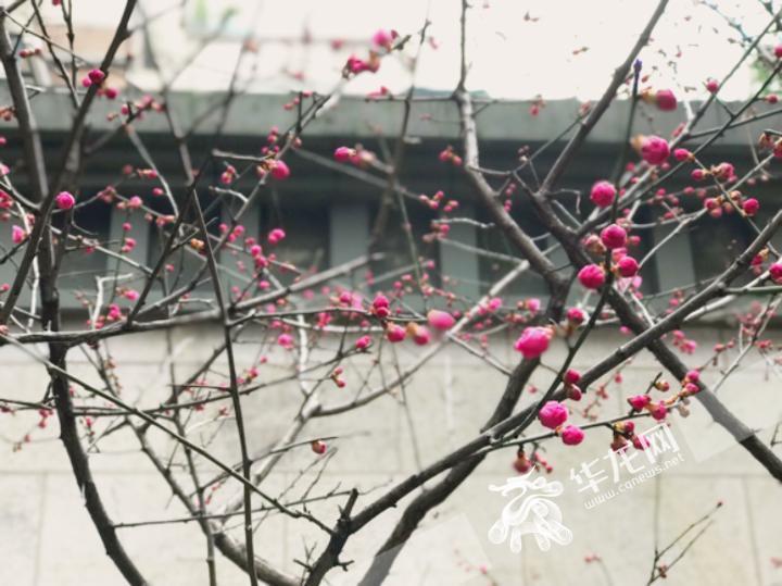 临近春节,天气转晴,红梅含苞欲放。记者 李裕锟 摄.jpeg