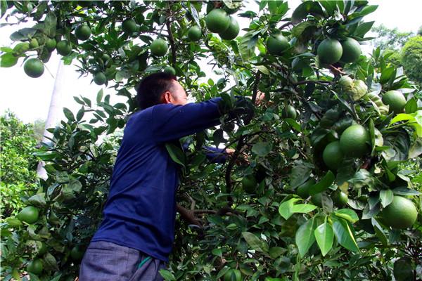 果农在管理即将成熟的梨橙.jpg