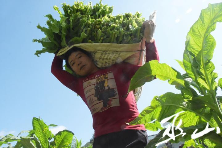 红椿村烟农正在采摘烟叶。记者王忠虎 摄.jpg
