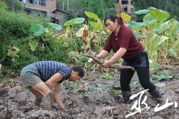 藕农们正在采挖莲藕.JPG