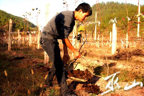 刘敬春给葡萄树施冬肥。_看图王.jpg