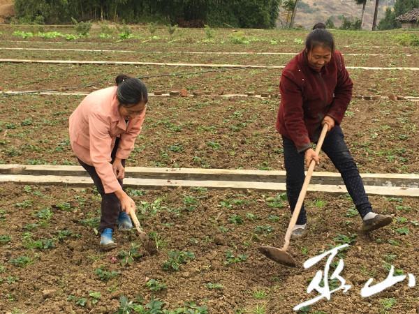 曲尺乡朝阳村村民在管护草莓。.JPG