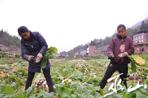 村民正在田里拔出大头萝卜并刮掉茎须。.jpg