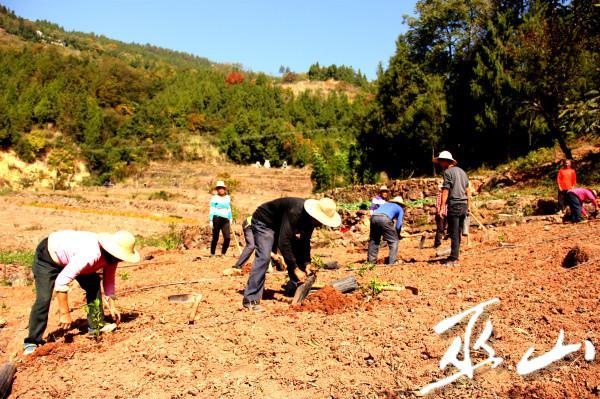 村民忙着移栽柑橘苗。_看图王.jpg