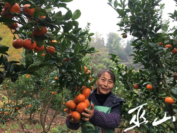 柑橘压弯了树枝。.JPG