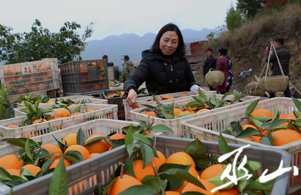 12月6日,进村收购的果商将柑橘堆放一起等待包装运输。卢先庆摄.JPG
