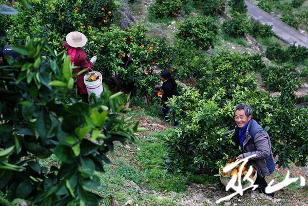12月6日,龙洞村的村民正在果园采摘柑橘。卢先庆摄.JPG