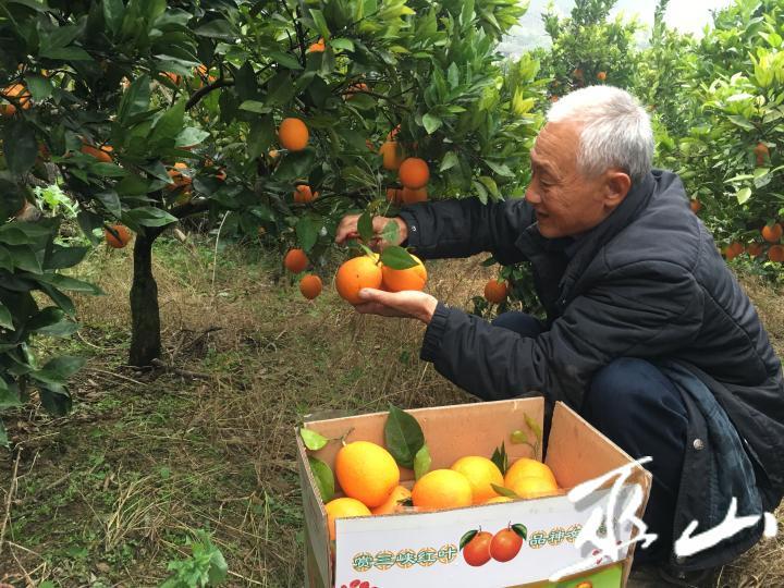 曾凡培采摘柑橘。.JPG
