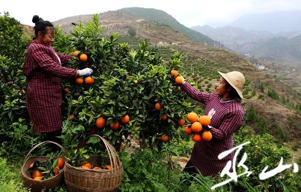 12月6日,龙洞村的村民正在果园采摘柑橘。卢先庆摄3.JPG