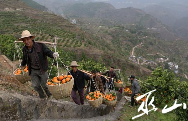 12月6日,龙洞村的村民正将采摘的柑橘运到果商收购处。卢先庆摄.JPG